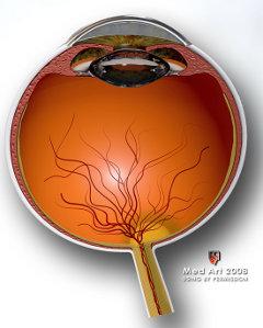 Dijelovi oka, rožnica, mrežnica, vidni živac, očna leća, šarenica