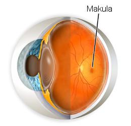 Makula, Makularna degeneracija, Makularni edem, Meibomianitis, Meibomova žlijezda, Melanin, Melanoza, Metamorfopsia, Mikrokornea, Miopija, Monovision, Mrežnica (Retina), Multifokalne leće